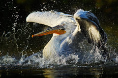 Pelican in the green water. White Pelican splashing in water. bird in the dark water, nature habitat, Romania. Bird in the water h Royalty Free Stock Photos