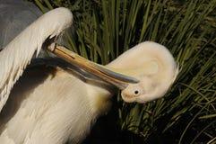 Pelican grooming Stock Images