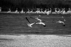 Pelican Group. A large group of pelicans on the shoreline Royalty Free Stock Photography