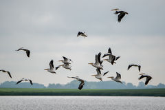Pelican Group. A group of pelicans flying Stock Images