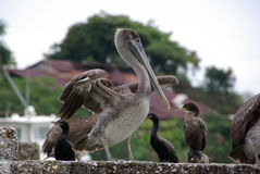 Pelican in Guatemala Royalty Free Stock Photo