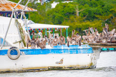 Pelican from Guatemala royalty free stock image