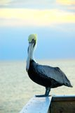 Pelican at the Gulf of Mexico Stock Photo