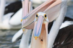 Pelican Gullet Royalty Free Stock Photography
