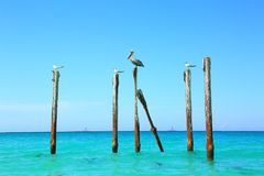 Pelican and gulls sitting on logs. Turquoise water and blue sky background. Royalty Free Stock Photo