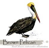 Pelican hand drawn watercolor illustration. Wild animal royalty free illustration