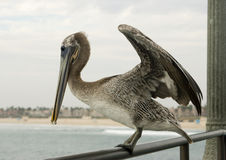 Pelican on handrail Stock Photos