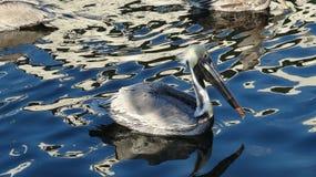Pelican 2 Royalty Free Stock Image