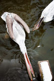 Pelican has a dinner Royalty Free Stock Photography