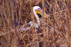Pelican. That hatches eggs in his nest at lake shore stock images