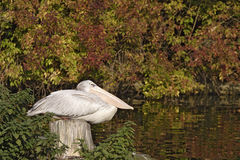 The pelican have a good rest Stock Images