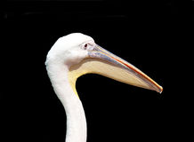 Pelican head Stock Image