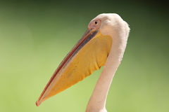 Pelican head. Close-up of Pelican head Royalty Free Stock Photography