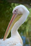Pelican head Stock Photography