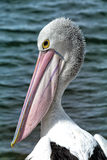 Pelican head Royalty Free Stock Photo