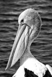 Pelican head Royalty Free Stock Image