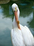 Pelican head closeup view Stock Photography