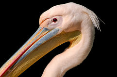 Pelican. Head epic photo on black background stock photography