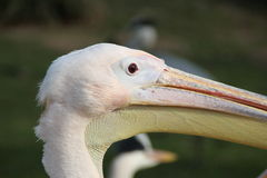 A pelican head. In the sun Royalty Free Stock Photo