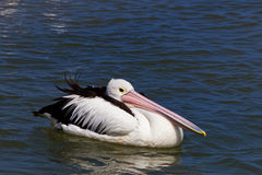Pelican with head tucked in Royalty Free Stock Images