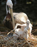Pelican with her young. Mother looks on as one young Pelican looks like it`s going to push the other right out of the nest Stock Photography