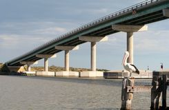 Pelican and Hindmarsh Island Bridge royalty free stock image