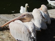 Pelican and his friends Stock Image