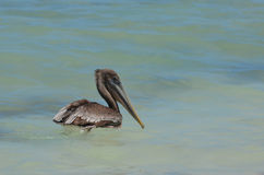 Pelican with a Hooked Beak Floating in Water Stock Image