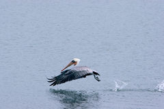 Pelican hops on the water. Wild Pelican hops on the water as it hunts for a fish Stock Images