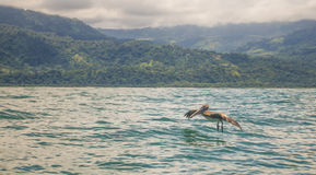 Pelican Hover. Pelican glides over the water Stock Photo