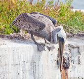 Pelican Hunting Royalty Free Stock Photography