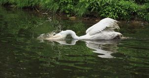 Pelican. A pelican hunting a fish Royalty Free Stock Photography