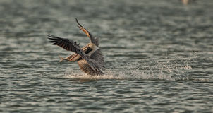 Pelican Hunting Royalty Free Stock Images