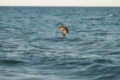Pelican hunting Stock Image