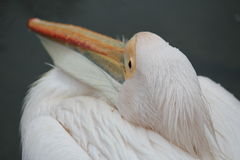 Pelican in Hyde Park in London Royalty Free Stock Photos