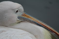 Pelican in Hyde Park in London Stock Images