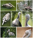 Pelican images collection in various active roles Stock Photo