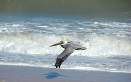Free Pelican In Flight Stock Images - 4353914