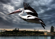 Free Pelican In Flight Royalty Free Stock Images - 5306219