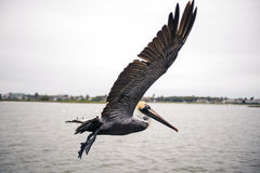 Free Pelican In Flight Royalty Free Stock Photos - 54868118