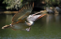 Free Pelican In Flight Stock Image - 75645621
