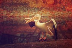 Free Pelican In The Park Royalty Free Stock Photography - 112738397