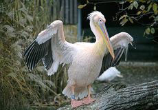 Pelican Island 7 Royalty Free Stock Photography