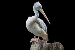 Pelican isolated on black background royalty free stock images