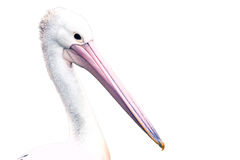 Pelican isolated Stock Images
