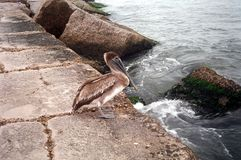 Pelican on Jetty Royalty Free Stock Photos
