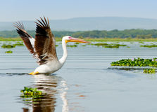 A Pelican, Kenya Royalty Free Stock Photography