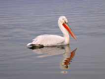 Pelican in lake. A closeup view of a beautiful Pelican bird in water stock photography