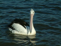 Pelican on lake. Pelican bird swimming on lake Royalty Free Stock Photos
