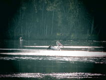 Pelican on Lake Stock Photography